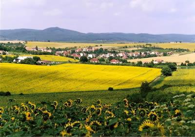 ウクライナ ひまわり畑